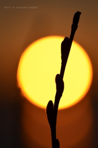 videkisse i solned